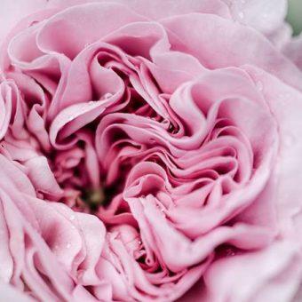 薔薇の香りのスピリチュアルな効能と使い方